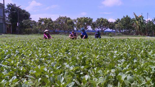 Hội LHPN quận Hà Đông hỗ trợ các nông hộ ở phường Đồng Mai thu hoạch và tiêu thụ rau xanh